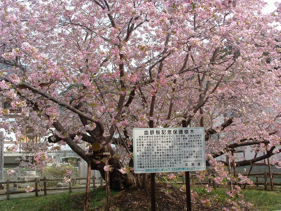北海道 心霊スポット 松前公園の血脈桜